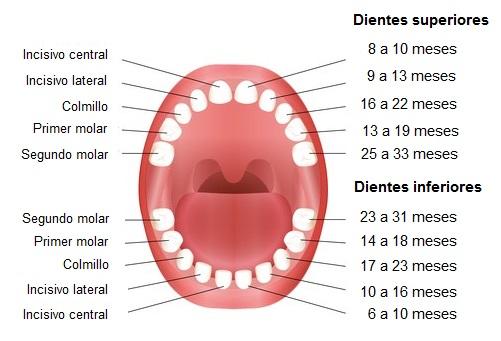 cronologia de la erupcion dental